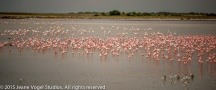 Lesser and Greater Flamingo in a temporary water hole on the veld. ©2015 Jeane Vogel Studios