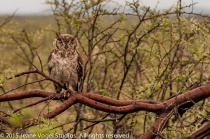 Horned Eagle Owl. ©2015 Jeane Vogel Studios
