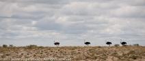 Ostrichs, queued up! ©2015 Jeane Vogel Studios