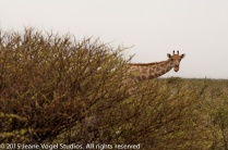 Giraffe peeks around an acacia tree. ©2015 Jeane Vogel Studios